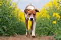 Картинка поле, рапс, собака, лето