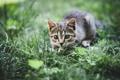 Картинка зелень, трава, котёнок