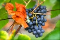 Картинка листья, красный, лист, виноград, гроздь