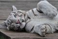 Картинка котёнок, белый тигр, тигрёнок