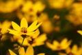 Картинка желтый, лето, лепестки, поляна, размытость, яркость, цветок