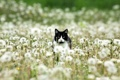 Картинка кошка, природа, одуванчики