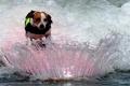 Картинка вода, брызги, собака, доска