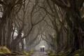 Картинка деревья, аллея, The Dark Hedges