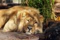 Картинка морда, хищник, Лев, лежит, смотрит, lion, большая кошка