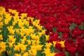 Картинка поле, тюльпаны, красные, жёлтые