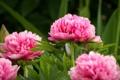 Картинка цветы, flowers, кустарник, розовые пионы, shrubs, pink peonies
