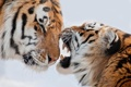 Картинка снег, тигр, пасть, пара, клыки
