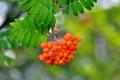 Картинка листья, макро, природа, ягоды, ветка, рябина