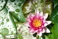 Картинка цветок, капли, кувшинка