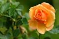 Картинка цветок, листья, макро, роза, лепестки, бутон