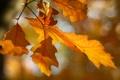Картинка осень, листья, макро, ветка, размытость, ярко, жёлтые