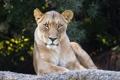 Картинка кошка, взгляд, морда, камень, львица, ©Tambako The Jaguar