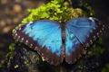 Картинка макро, бабочка, Морфо Пелеида