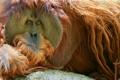 Картинка взгляд, шерсть, обезьяна, орангутан