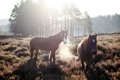 Картинка кони, поле, утро