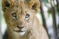 Картинка взгляд, морда, детёныш, котёнок, львёнок, ©Tambako The Jaguar
