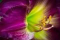 Картинка цветок, макро, крупный план, сиреневый, гладиолус
