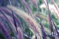 Картинка колоски, Макро, растение, трава