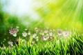 Картинка трава, лучи, цветы, боке