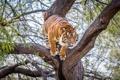 Картинка тигр, дерево, хищник