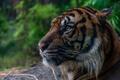 Картинка дикая кошка, профиль, морда, хищник, тигр