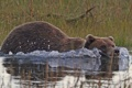 Картинка вода, заплыв, Аляска, бурый медведь, кадьяк