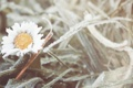 Картинка холод, иней, цветок, трава, ромашка