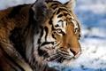 Картинка усы, взгляд, морда, тигр, tiger, panthera tigris