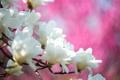 Картинка цветы, весна, магнолия, тюльпановое дерево