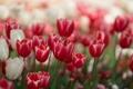 Картинка цветы, тюльпаны, красные, белые