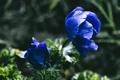 Картинка лепестки, синие, цветы
