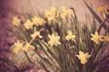 Картинка цветы, желтые, нарциссы