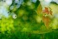 Картинка зелень, листья, фон, размытость