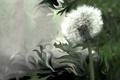 Картинка белый, цветок, синий, природа, одуванчик, пластика