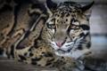 Картинка морда, хищник, лежит, дикая кошка, дымчатый леопард