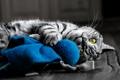 Картинка кошка, глаза, кот, серый фон