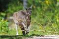 Картинка ветка, кенгуру, ©Tambako The Jaguar
