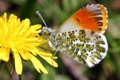 Картинка цветок, макро, одуванчик, бабочка, Зорька сердечниковая