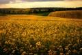 Картинка природа, поле, рапс, утро, цветы