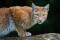 Картинка хищник, рысь, lynx, bobcat