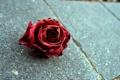 Картинка роза, rose, макро, красный цветок
