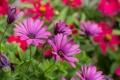 Картинка цветы, розовые, клумба