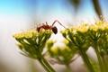 Картинка цветок, макро, муравей, насекомое