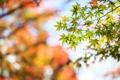 Картинка листья, крона, листочки, клен, дерево, размытость