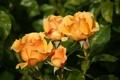 Картинка капли, бутоны, розы, макро