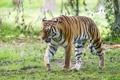 Картинка кошка, тигр, амурский, ©Tambako The Jaguar