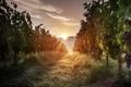 Картинка трава, восход, виноградник, grass, sunrise, morning light, vineyard