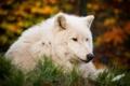 Картинка белый, взгляд, морда, волк