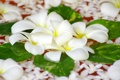 Картинка вода, цветы, лепестки, белые, плюмерия